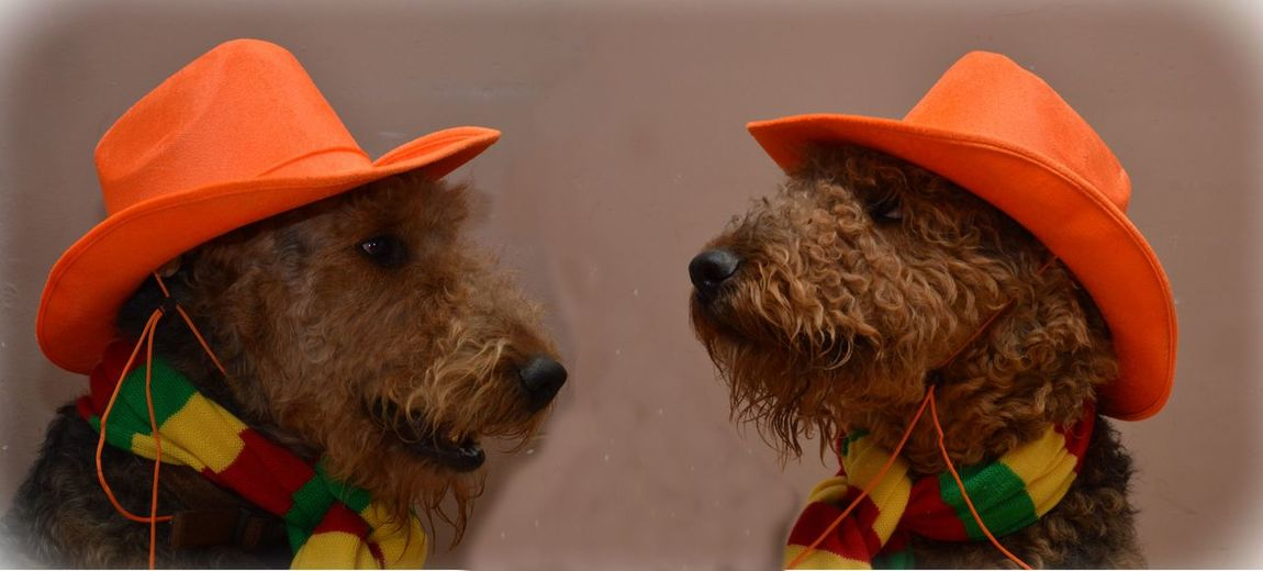 Alaaf Animal Themes Carnaval Colorful FUNNY ANIMALS Hat No People Orange Color Orange Hat Two Dogs