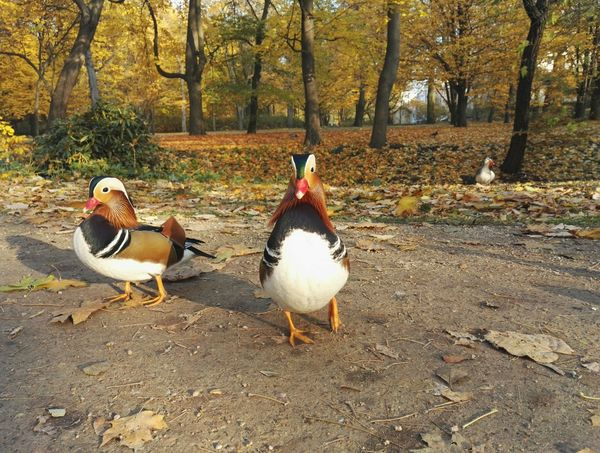 Bird Animal Themes Nature Animal Wildlife Animals In The Wild Geese Outdoors Beauty In Nature Duck Duck Park Warsaw Animal łazienki Królewskie Domestic Animals