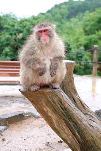 Japanese Macaque - Snow Monkey Rainy Spring Season Arashiyama Iwatayama Monkey Park Snow Monkey Animal Animal Wildlife Iwatayama Japanese Macaque Kyoto Looking Away Macaque Mammal Monkey No People One One Animal Primate Sitting Snow
