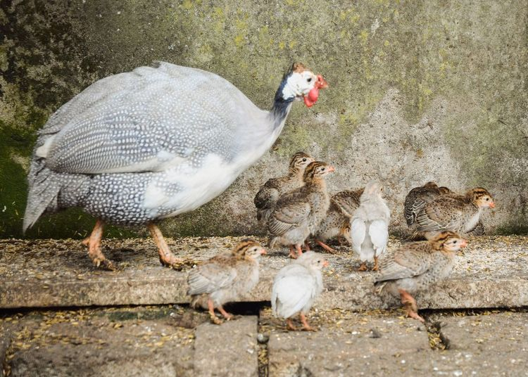 Mother guinea fowl with chicks Chicks Mother Hen Mother Guinea Fowl Farmyard Animal Animal Themes Vertebrate Group Of Animals High Angle View Bird Day Domestic Animals Nature Livestock Agriculture