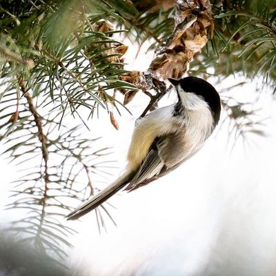 While out this afternoon, i noticed a few small birds and quickly realized they were Black-Capped Chickadees. This one hangs upside down from a limb. Pecking into the seeds. This was the best shot I was able to get... Next time will hopefully get better images. Birding Chikadee Blackcappedchikadee Utah Nature Lovers Nature Igutah Utahbirding Experienceutah Birdwatching