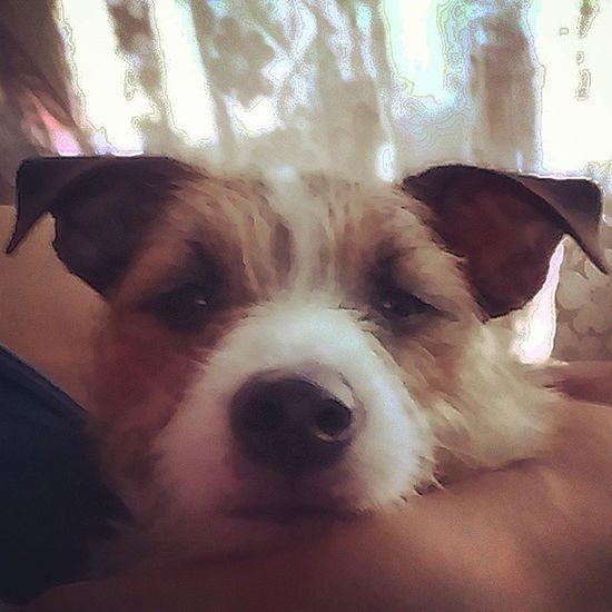 Heeeellllooo Remy Jrt Jackrussell Puppy