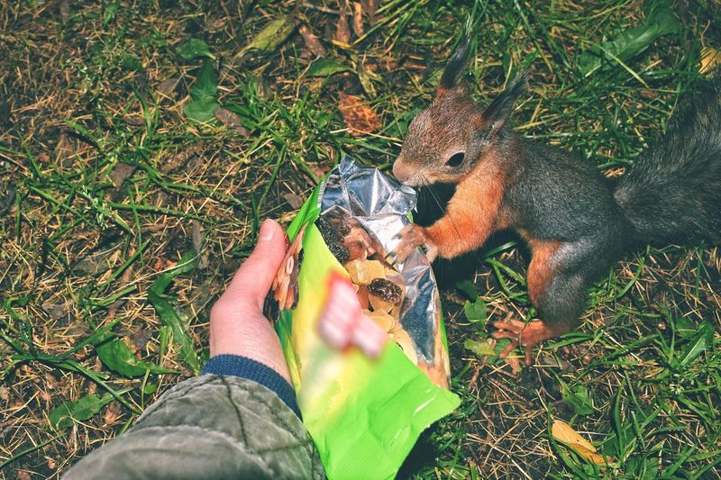 Some more of autumn series 🍂🐿 Human Body Part Human Hand One Person Grass Holding Mammal Animal Wildlife One Animal Animals In The Wild Day Outdoors Animal Themes Food Nature People Adult Close-up Adults Only Feeding Squirrels Squirrel Squirrel Eating Feeding Animals Autumn🍁🍁🍁 Second Acts
