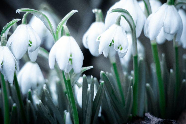 Close-up of white crocus flowers
