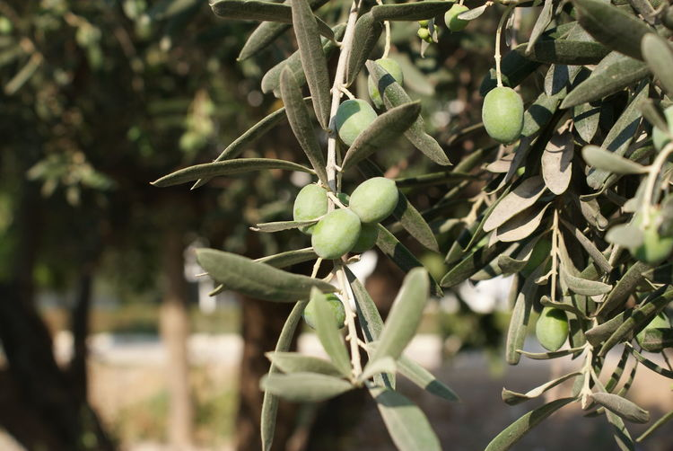 Close-up of olive tree on sunny day