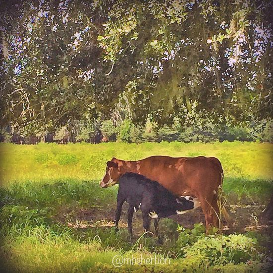 Nature Florida Cows Wideopenspaces Landscape Pasture Backroads Farm Countryside Breakfast