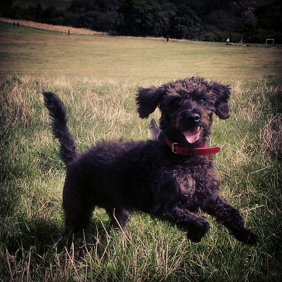 Luigi the dashypoo! Frolicking Inthesun Sunshine Dogs Dogstagram Field Dogwalking Happy Happiness Ilovemydog