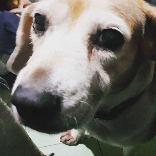 別用這種眼神看我,我知道已經有一個月假日沒陪妳,但妳娘是工作和外出應酬,沒有一直出去玩不理妳啊…… Mymilinbaby Beagle 淚痕 她的眼光 妳不要這樣看著我,我的臉會變成紅蘋果