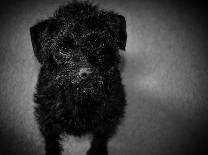 My little poser 🐶 Dog Pets Portrait Animal Themes Close-up One Animal Dogslife Doglover Dogsofinstagram Dog Photography Yorkipoo Dog Portrait Details Fur Black Black Dog Black And Grey