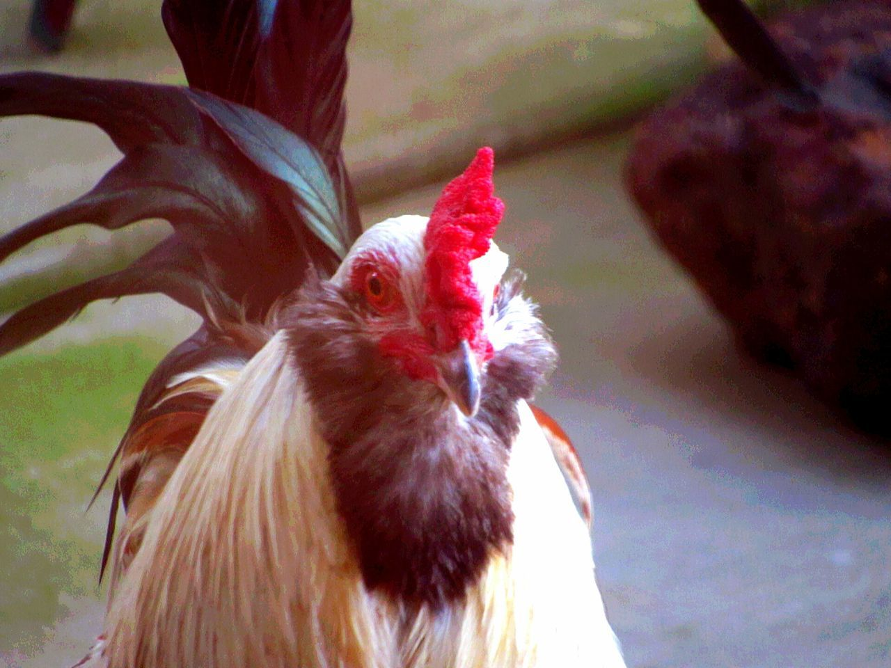 animal themes, one animal, chicken - bird, domestic animals, bird, livestock, no people, animal crest, outdoors, day, rooster, close-up, nature, mammal