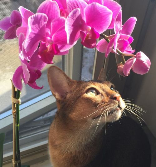 #abyssinian #orchid Animal Themes Beauty In Nature Close-up Day Domestic Cat Flower Indoors  Pets