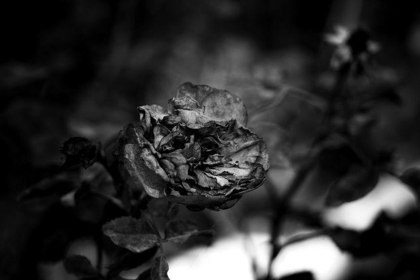 모노크롬 흑백 Blackandwhite Monochrome 花 Flower 꽃 장미 Rosé Flowers