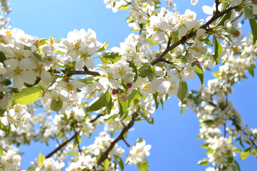 The apple trees are blooming white flowers in the city park City Nature Apple Trees  Beauty Beauty In Nature Blooming Blossom Branch Cherry Blossom Cherry Tree Clear Sky Close-up Colorful Day Flower Flower Head Flowering Plant Flowers Fragility Freshness Growth Low Angle View Nature No People Outdoors Park Plant Season  Sky Spring Springtime Summer Sunlight Tree Vulnerability  White