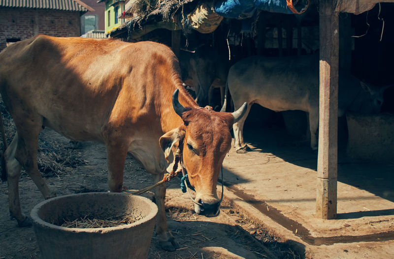 Domestic cattle in a farm in west bengal.