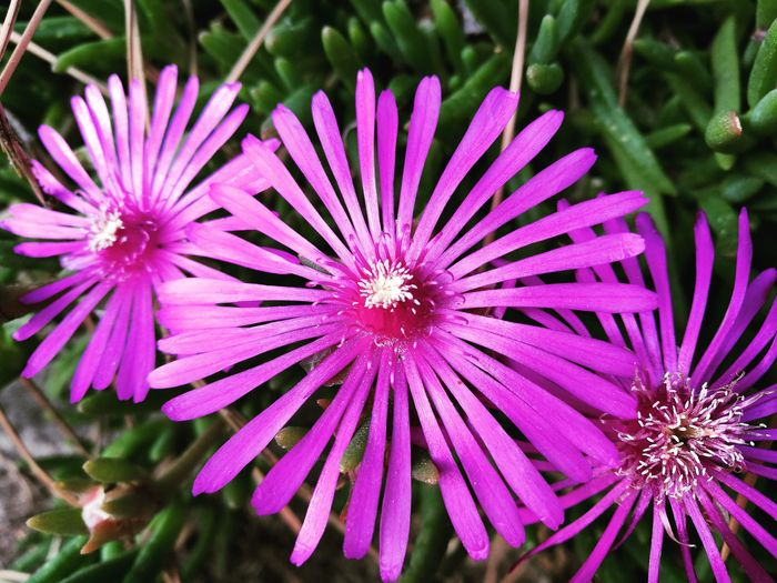 Purple Daisies Flora Flora And Fauna Three Purple Flower Purple Flowers Nature Flower Head Flower Purple Close-up Plant Blooming Pollen In Bloom Petal Spring Blossoming  Pure Lush Blossom Botanical Garden Plant Life Stamen Botany Pistil