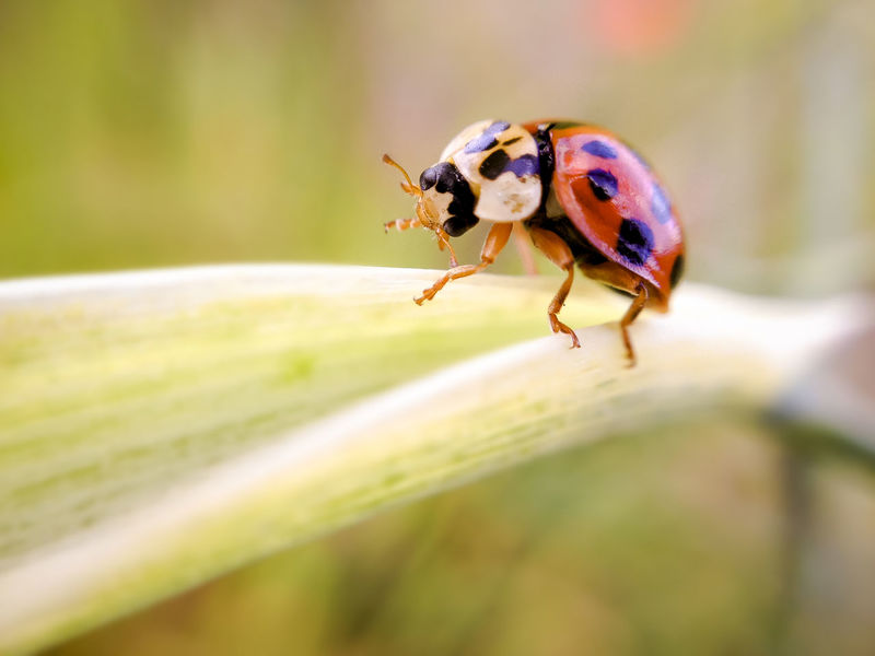 Close up of a ladybird walking on a plant leaf stem Bug Coccinellidae Dancing Ladybug Spotted Summertime Animal Themes Animals In The Wild Beetle Bugs Close-up Day Insect Ladybird Ladybirds Leaf Nature One Animal Outdoors Spots Spring Springtime Summer Walking Wildlife