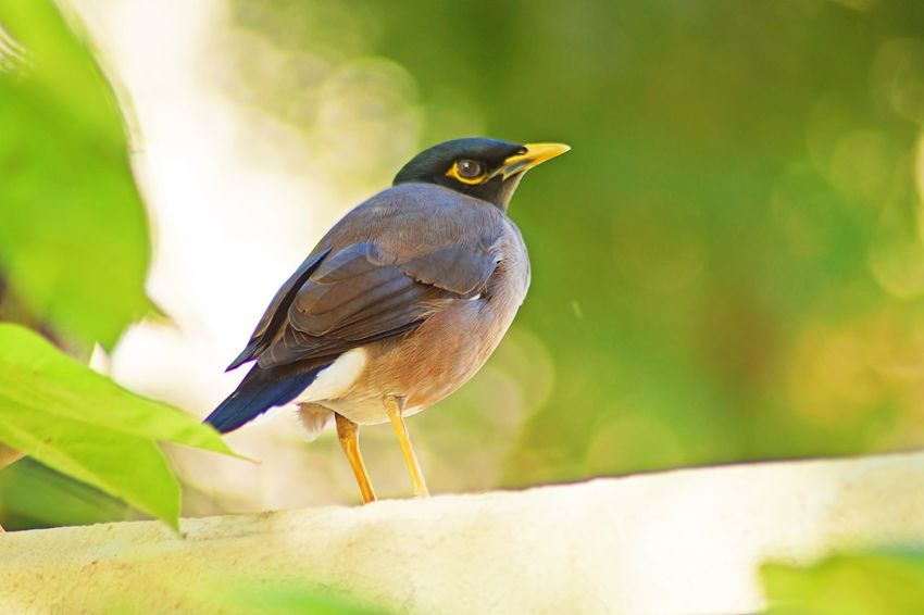 Myna Bird in Dubai Myna Animal Themes Animal Wildlife Animals In The Wild Beauty In Nature Bird Close-up Day Focus On Foreground Nature No People One Animal Outdoors Perching