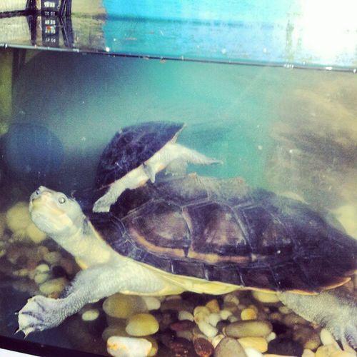 HERCULE & NITRô Tortuera 'Tortue ' Turtle ' Turtlesofinstagram ' tortugas tortues emyduramacquarii emydura emydurasubglossa exotics ....