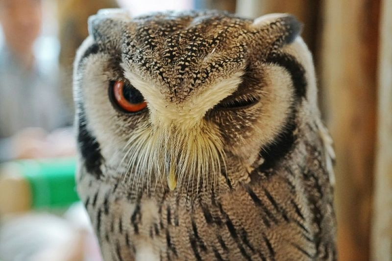 フクロウ ふくろうカフェ Owl Close-up Animal Body Part Animal Wildlife One Animal Animal Head  Portrait Animal Looking At Camera Animals In The Wild Focus On Foreground Closing Day No People Bird Animal Themes Nature Outdoors Mammal Bird Of Prey フクロウ