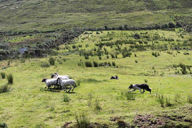 Dog herding sheep on grassy field