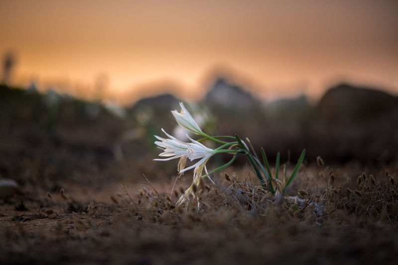 Lonely Flower 85mm Beauty In Nature Close-up Depth Of Field Flower Focus On Foreground Growth Nature Outdoors Softness Sunset
