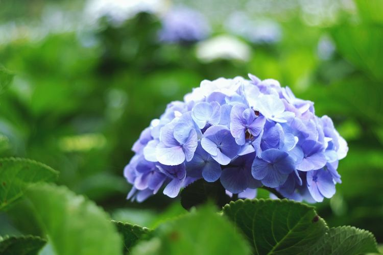 Close-up of purple hydrangea blue flower