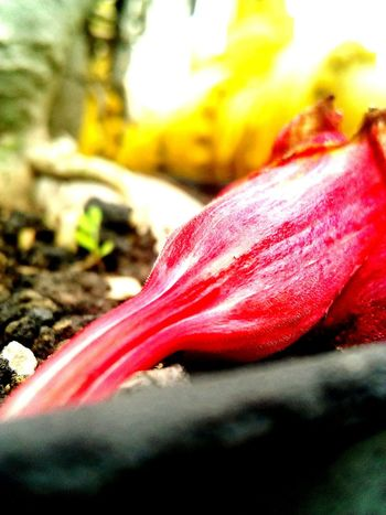 Red Flower EyeEm Nature Lover Mobile Phone Photography Indonesia_photography Wonderful Indonesia