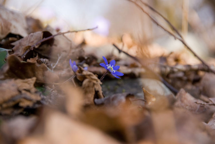 In early spring blue anemones show upp between leaves. The Purist (no Edit, No Filter) Inthewoods Intheforest Forest Photography Selective Focus Plant Fragility Vulnerability  Close-up Nature Beauty In Nature Flower Flowering Plant Dry Growth Day No People Plant Part Leaf Freshness Outdoors Land Autumn Tree Purple Change Blue Anemones Blue Flowers Spring Flowers Springtime Spring Has Arrived Low Angle View My Best Photo