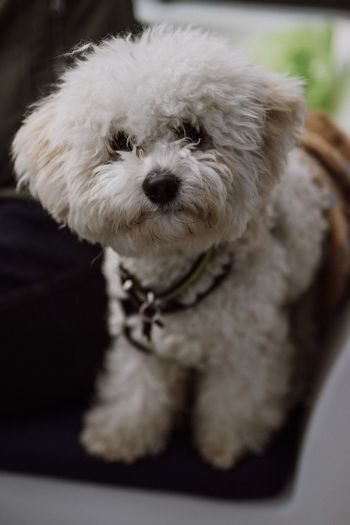 Cloud ☁️ | Sigma 50mm f/1.4 EyeEm Selects One Animal Mammal Dog Pets Animal Themes Domestic Animals Indoors  Close-up No People Day Outdoors Bichonfrise Bichon Cloud Pets Corner Close Up