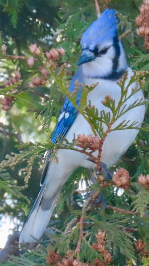 Blue jay closeup perched on a tree branch birdwatching outdoors birds of EyeEm beauty in nature animal themes Tree Bird One Animal No People