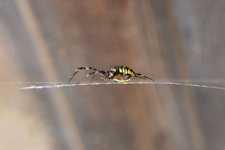 A wasp spider, argiope bruennichi, on it's web.