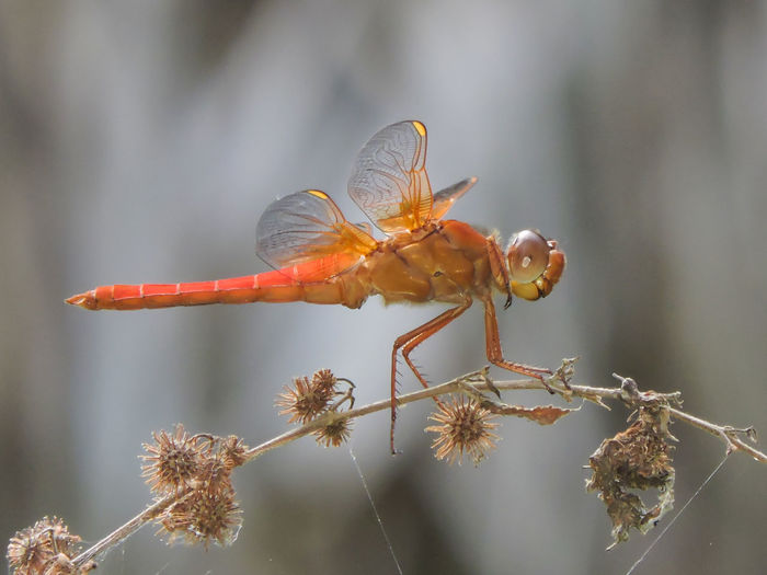 Animals Beauty In Nature Close-up Dragonfly Focus On Foreground Fragility Insect Magazhu Natural Pattern Nature No People Orange Color Orange Dragonfly Outdoors Selective Focus Showcase August Stem Twig Yelapa