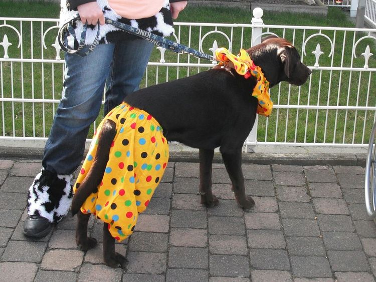 Dog❤ Labrador Retriever Karneval Germany I Love My Dog My Dog Is Cooler Than Your Kid. Cute♡ Pet Photography  Playing With The Animals Colors Of Carnival Labrador