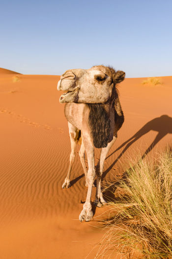 A camel in the Erg Chebbi desert in Morocco looks like it is laughing while it is eatign some grass. Africa Animal Themes Arabian Camel Arid Climate Camel Camelus Dromedarius Clear Sky Day Desert Dromedary Grass Landscape Mammal Morocco Nature No People One-humped Outdoors Sahara Sahara Desert Sand Dune Shadow Sky Steppe