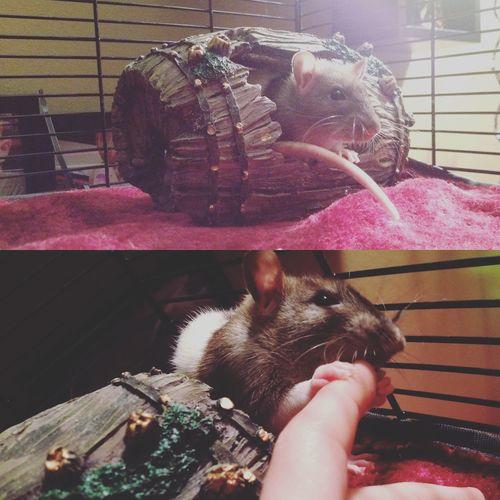 Rat My Baby Pig Furbaby Happiness Love My Pet Cute Cute Pets
