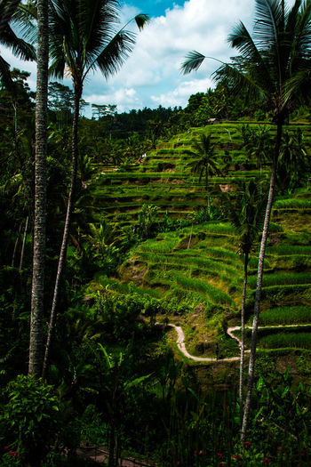 Bali, Indonesia Plant Tree Growth Green Color Palm Tree Tranquil Scene Tranquility Tropical Climate No People Land Nature Rice Field Cloud - Sky