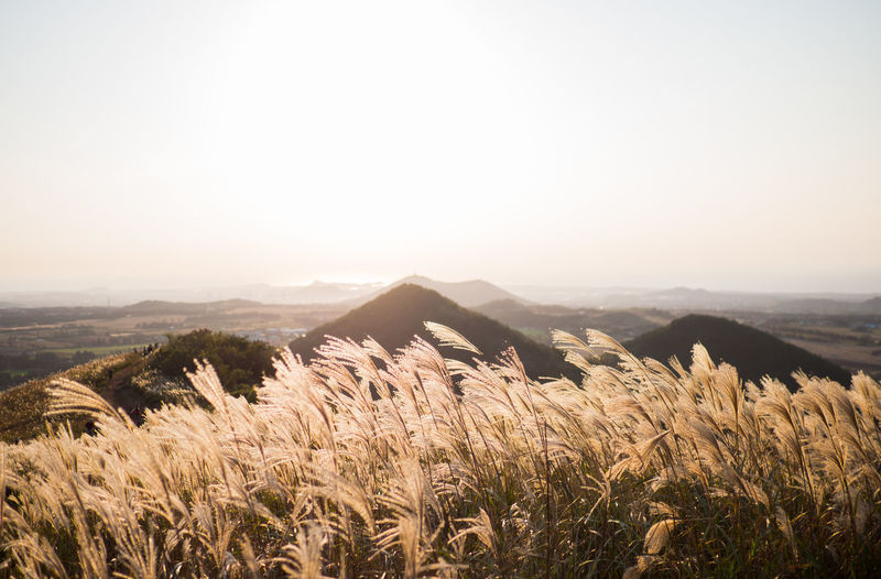 Beautiful silver grass or miscanthus sinensis of a jeju island at korea autumn.