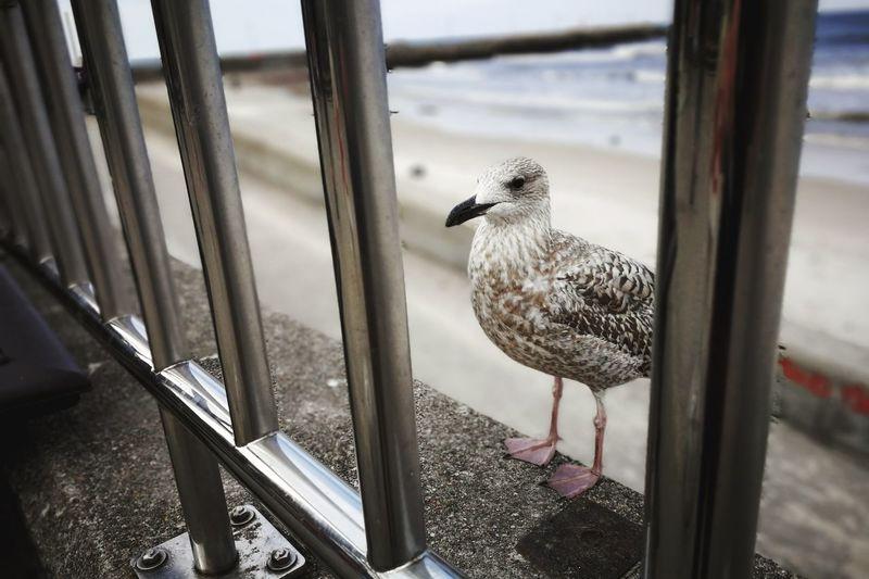 """Endlich... neue Folgen von """"Hinter Gittern"""" Seagull Ostsee Ostseeküste Kolberg Poland My Point Of View Bird Water Beach Animal Themes Sky Close-up Sea Bird Water Bird"""