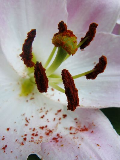 Lily Flowers Flowers, Nature And Beauty Flower Photography Flowers,Plants & Garden Flowerphotography Beauty In Nature Nature Nature Photography Flower White Flower Pink Flower Pink Flowers Flower Macro Flower Head Close-up Plant