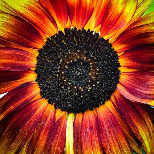 Sunflower Freshness Backgrounds Vulnerability  Fragility Inflorescence Nature No People Pollen Yellow Full Frame Orange Color Outdoors Petal