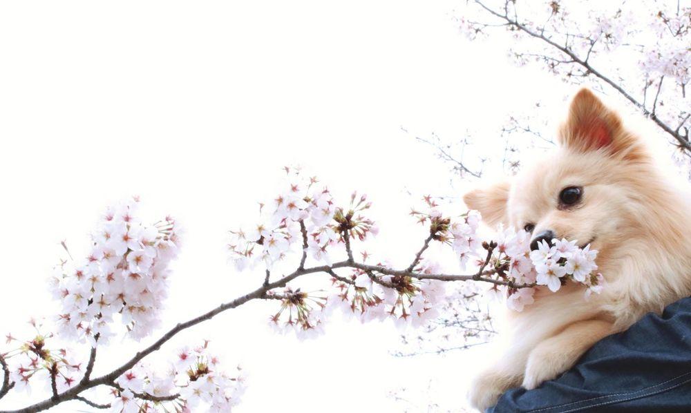 Spring Pets One Animal Dog 春 Flower サクラ Japaneseflower 桜 Japan Aichi Cherry Blossoms Cherryblossom Cherry Blossom ポメラニアン Pomeranianlove Rico Pomeranian Pomeranian Love Pomeranian Dog 犬
