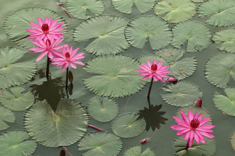 Lotus field Flower Plant Flowering Plant Growth Beauty In Nature Pink Color Freshness Vulnerability  Leaf No People Fragility Close-up Plant Part Green Color Nature Flower Head Petal Day Full Frame Inflorescence Outdoors Purple Floral Pattern
