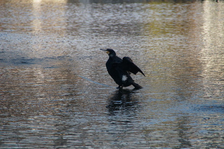 Water Animals In The Wild One Animal Bird Animal Wildlife Animal Themes Reflection No People Cormorant  Wet Nature Waterfront Outdoors Day London Themse Freedom EyeEmNewHere