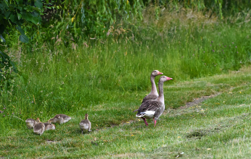 Animal Family Animal Themes Animal Wildlife Animals In The Wild Bird Field Goose Gosling Grass Green Color Group Of Animals Land No People Outdoors Vertebrate Young Animal Young Bird