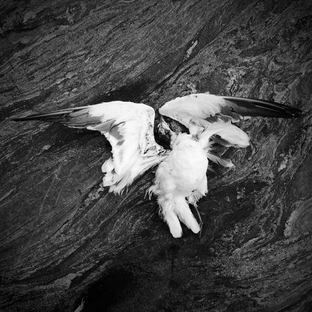 Brutal nature. Seagull B&w Sweden