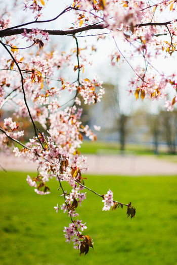 Cherry Blossom Beauty In Nature Blossom Branch Cherry Blossom Cherry Tree Day Flower Freshness Green Nature No People Outdoors Springtime Tree