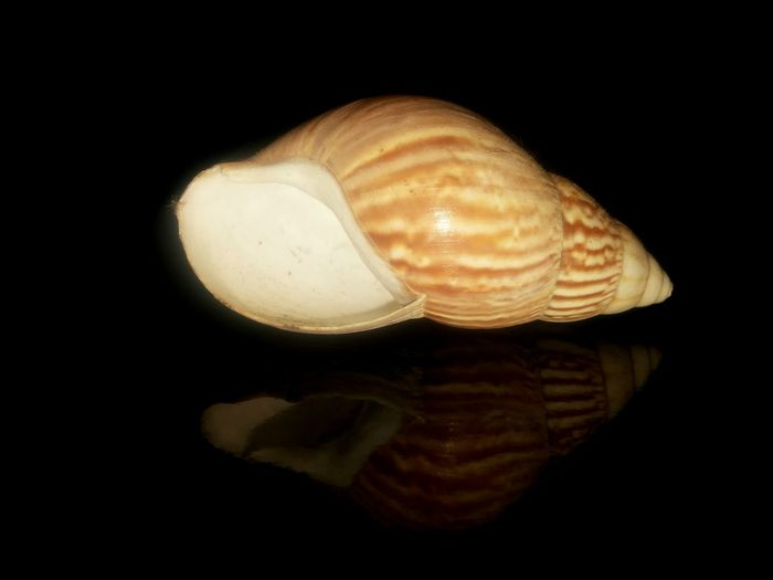 Muschel Black Background Sea Life One Animal Animal Themes No People Close-up Underwater UnderSea Nature Details Of Nature Shell Stillness Shells Shell Art StillLifePhotography Shell Photography Shell Collection Muschel Shells🐚 UnderSea Nature Sea Black Background Beauty In Nature Muschelschalen