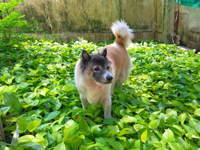 Thai Bangkaew Dog in the field of Devil's ivy. Breed Asian  Animal Themes Mammal Animal One Animal Vertebrate Domestic Domestic Animals Pets Green Color Nature Day Plant No People Dog Young Animal High Angle View Growth Canine Outdoors
