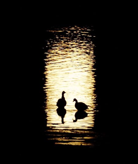 Bathing In The Moonlight Bird Animals In The Wild Animal Themes Wildlife Lake Silhouette Reflection Water Zoology Duck Water Surface Tranquility Swimming Nature Water Bird Avian Beauty In Nature Animal Scenics Tranquil Scene