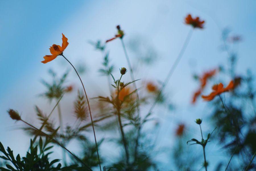 キバナコスモス Nature Growth Flower No People Beauty In Nature Day Outdoors Flower Head EyeEm Nature Lover Pentax Oldlens